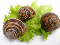 Roman snails. Three delicious Roman snails (helix pomatia) on wet green lettuce leaf, still alive, isolated on white background Royalty Free Stock Photos