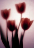Romance. Four tulips photographed behind art paper stock image