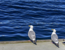 Romance da gaivota Fotos de Stock Royalty Free