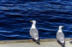 Romance da gaivota Imagens de Stock