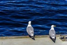 Romance da gaivota Imagem de Stock