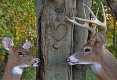 Romance de cerfs communs en bois Image stock