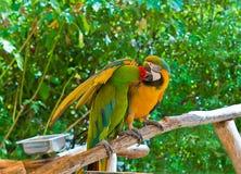 Romance del Macaw Imágenes de archivo libres de regalías