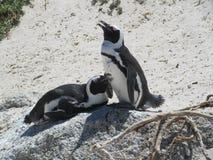 Romance dos pares do santuário do pinguim imagem de stock royalty free