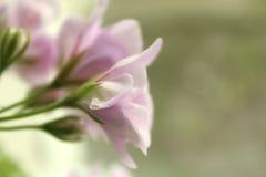 Romance rosado Imágenes de archivo libres de regalías