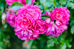 Romance rose in garden Royalty Free Stock Image