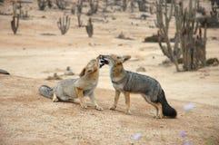 romancing阿塔卡马沙漠的狐狸 免版税库存照片