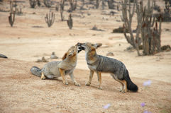 Romancing Atacama Desert foxes. Foxes of the Atacama Desert, Chile, South America Royalty Free Stock Photo