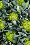 Romanesco broccoli cabbage Royalty Free Stock Photos