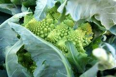 Romanesco brokuły, Romanesco kalafior Zdjęcie Royalty Free