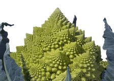 Romanesco Spirals - Brassica oleracea. Close-up of the head of a Brassica oleracea, AKA broccoli romanesco or roman cauliflower. The fractal-like geometric royalty free stock photo