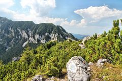 Romania. Piatra Craiului National Park in Romania - hiking trail to Piatra Mica in Southern Carpathians. High altitude forest of Mugo Pine (Pinus mugo royalty free stock image