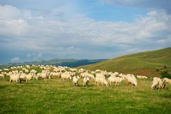 Romania landscape with meadow and sheep in Europe stock image