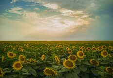 Romania Magical Sunflowers Field Landscape Royalty Free Stock Photography