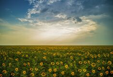 Romania Magical Sunflowers Field Landscape Stock Photo