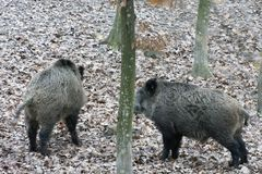 Romanian autumn forest on a rainy day Wild Boar stock photography