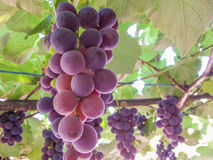 Romanian bio ripe grapes on grapevine. Picture with delicious bio red grapes from romanian , view on grapevine Stock Images