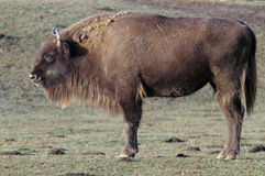 European bison in reservation, Romania. Female bison in Intorsura Buzaului reservation, Romania Royalty Free Stock Photography