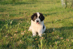 Romanian Bucovina Sheperd Puppy Stock Images