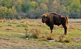 Romanian Buffalo Stock Photography
