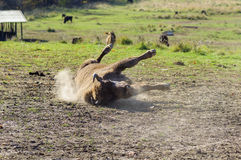 Romanian buffalo rolling on dirt Stock Photos