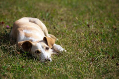 Romanian dog relaxing and sprawling on the grass Royalty Free Stock Photography