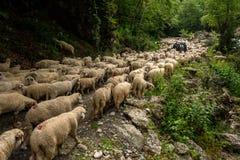 Romanian flock transhumance shepherd in the mountains stock photo