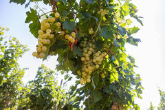 Romanian grapes Royalty Free Stock Images