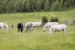 Romanian horses Royalty Free Stock Image