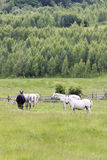 Romanian horses Stock Image
