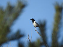 Romanian Magpie profile Royalty Free Stock Images