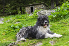 Romanian Mioritic Shepherd Dog Stock Image