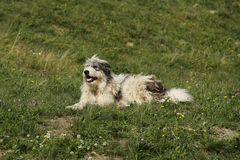 Romanian mioritic shepherd dog Stock Photos