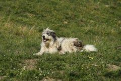 Romanian mioritic shepherd dog. Lying on the grassland Stock Photos