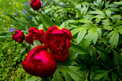 The Romanian peony. Paeonia peregrina Mill. Romanian Is a peony species of the Paeonia family present in the forests of the plain or on the outskirts of stock image