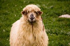 Romanian sheep Stock Photo