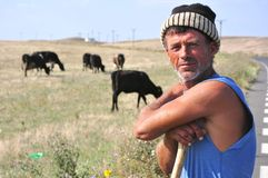 Romanian shepherd with cows. In the countryside of Dobrogea Royalty Free Stock Image