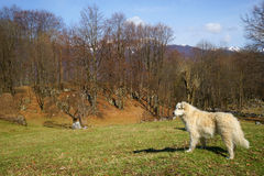Romanian shepherd dog Royalty Free Stock Photo