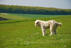 Romanian Shepherd Dog. In a grass field Royalty Free Stock Photos
