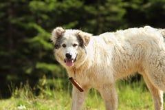 Romanian shepherd dog closeup Royalty Free Stock Photos