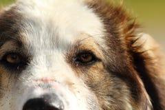 Romanian shepherd dog eye closeup Royalty Free Stock Image