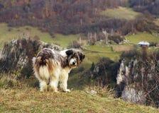 Romanian Shepherd Dog in a mountain village. The Romanian Mioritic Shepherd Dog is a large breed of livestock guardian dog that originated in the Carpathian stock photos