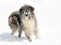 Romanian shepherd dog Stock Image