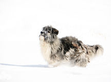 Romanian shepherd dog Royalty Free Stock Photos