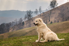Romanian Shepherd Dog. White romanian shepherd dog paying attention to sheep up on the hills on a cloudy day. Very early spring time of the year, brown tones royalty free stock photos