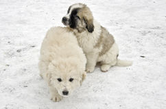 Romanian shepherd puppies Royalty Free Stock Photos