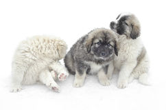 Romanian shepherd puppies Stock Photo