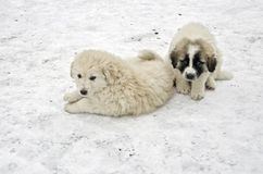 Romanian shepherd puppies Royalty Free Stock Image