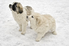 Romanian shepherd puppies Royalty Free Stock Photography