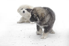 Romanian shepherd puppies. In a snowy winter day Royalty Free Stock Photos